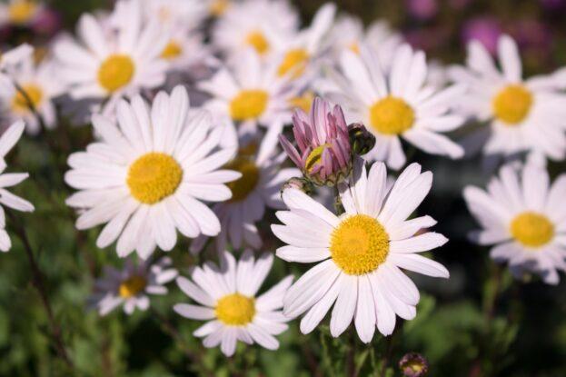 Arctanthemum Roseum
