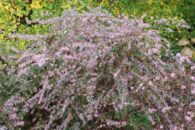Aster lateriflorus Lady in Black 2