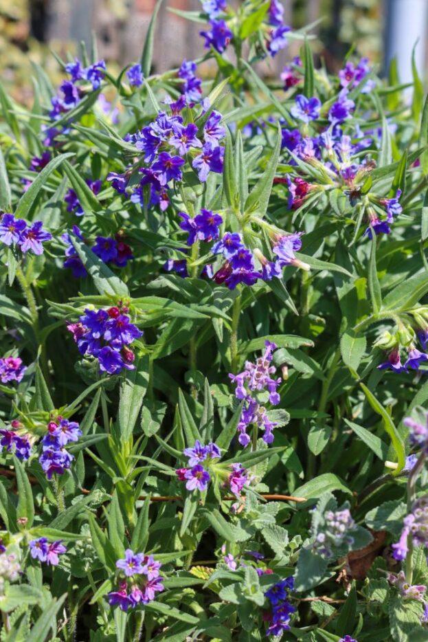 Buglossoides purpureocaerulea 1
