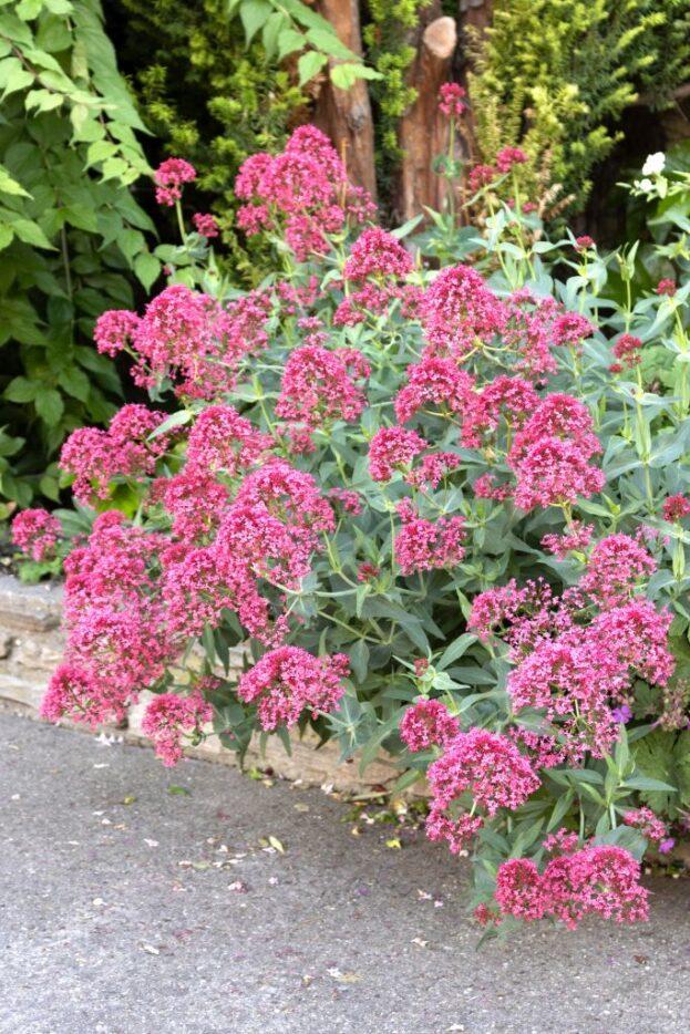 Centranthus ruber Coccineus 2