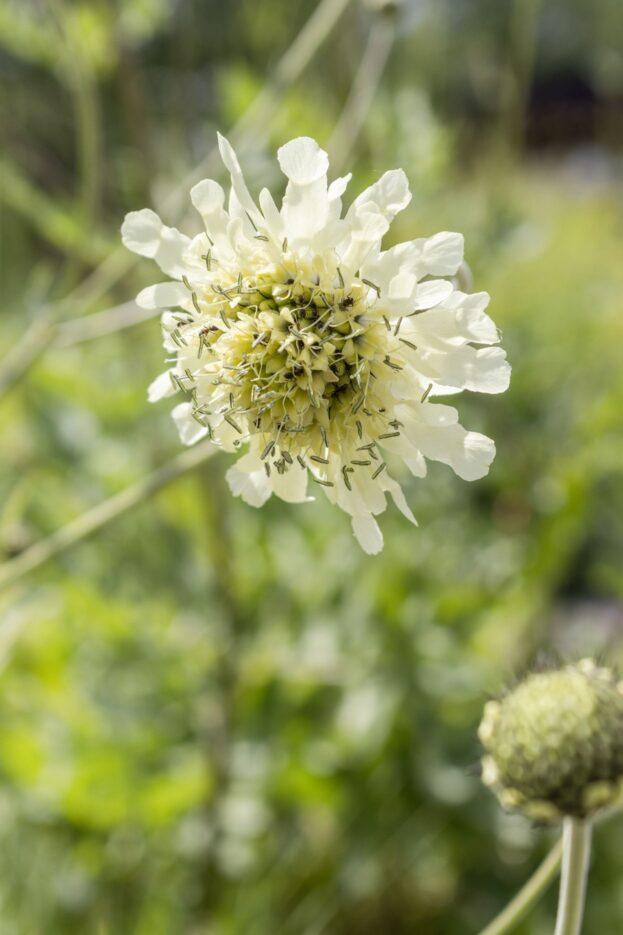 Cephalaria gigantea 4