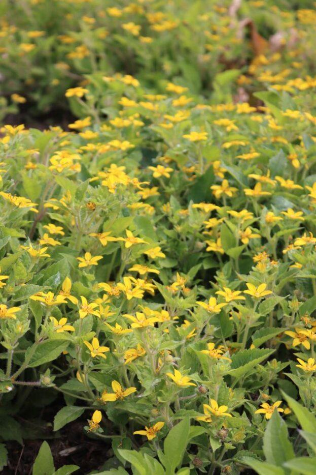Chrysogonum virginianum 1