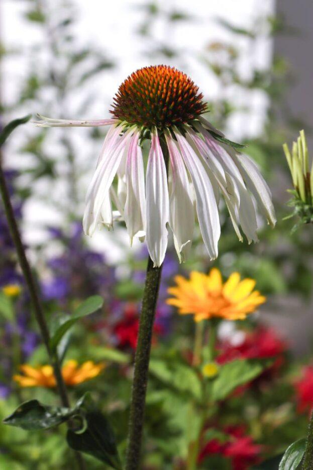 Echinacea Engeltje 2 1