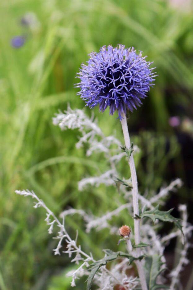 Echinops ritro Veitch Blue 2