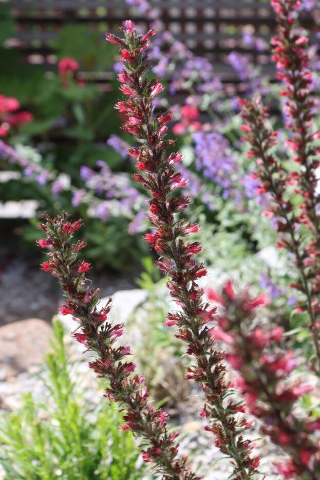 Echium amoenum Red Feathers 2