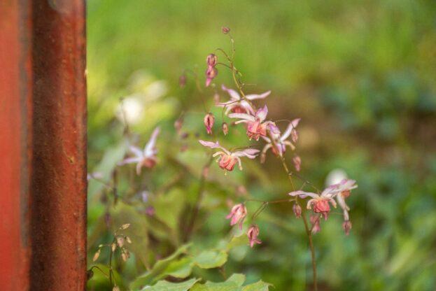 Epimedium Elfenblume 'Asiatic Hybrid'