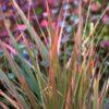 Eragrostis spectabilis 'Purpurflirren'