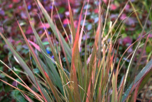 Eragrostis spectabilis Purpurflirren