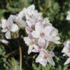 Erodium absinthoides var. amanum