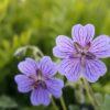 Geranium renardii x platypetalum 'Terre Franche'