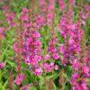 Lythrum salicaria 'Robert'