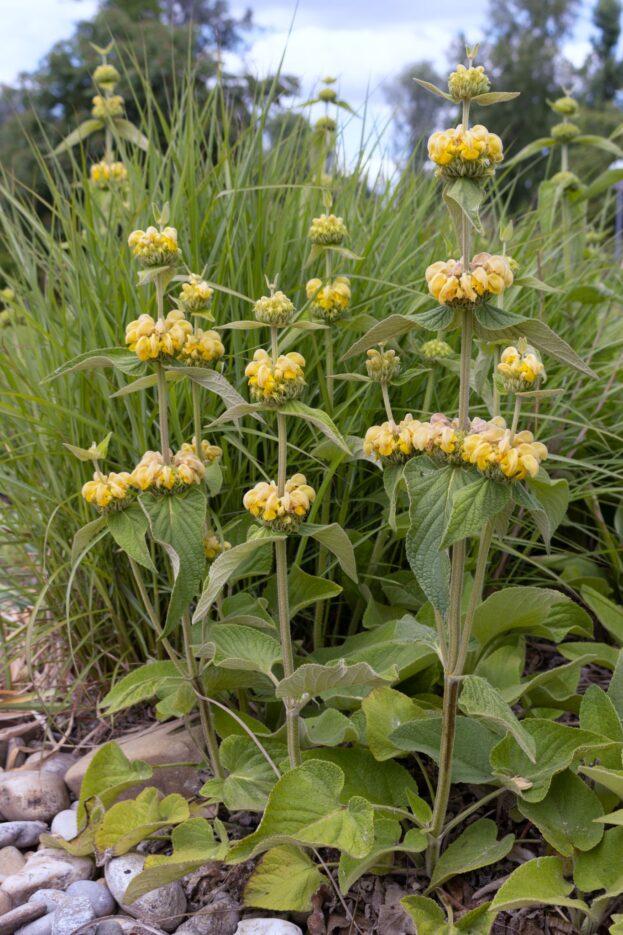 Phlomis russeliana 3