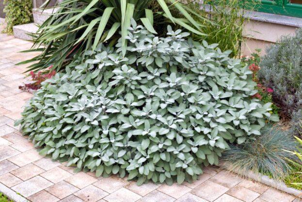 Salvia Berggarten