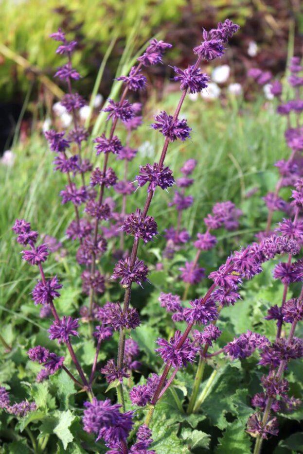 Salvia verticillata Purple Rain 1