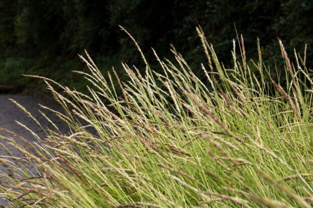 Sesleria autumnalis 2