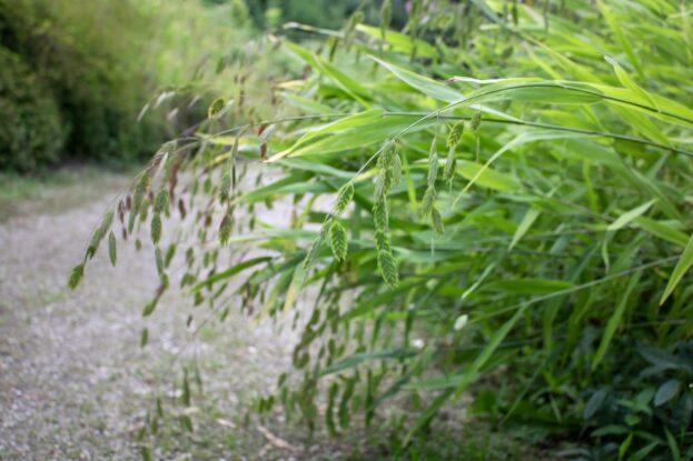 chasmanthium latifolium 1
