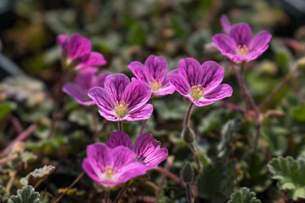 erodium the bishop